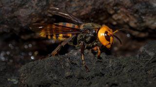A photo of an Asian giant hornet, or murder hornet, walking on soil.
