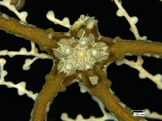 A closer look of a deep-sea brittle star.