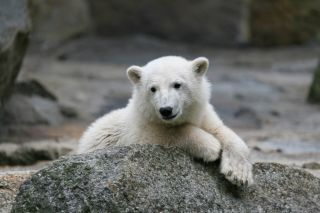 knut the polar bear poses ona rock