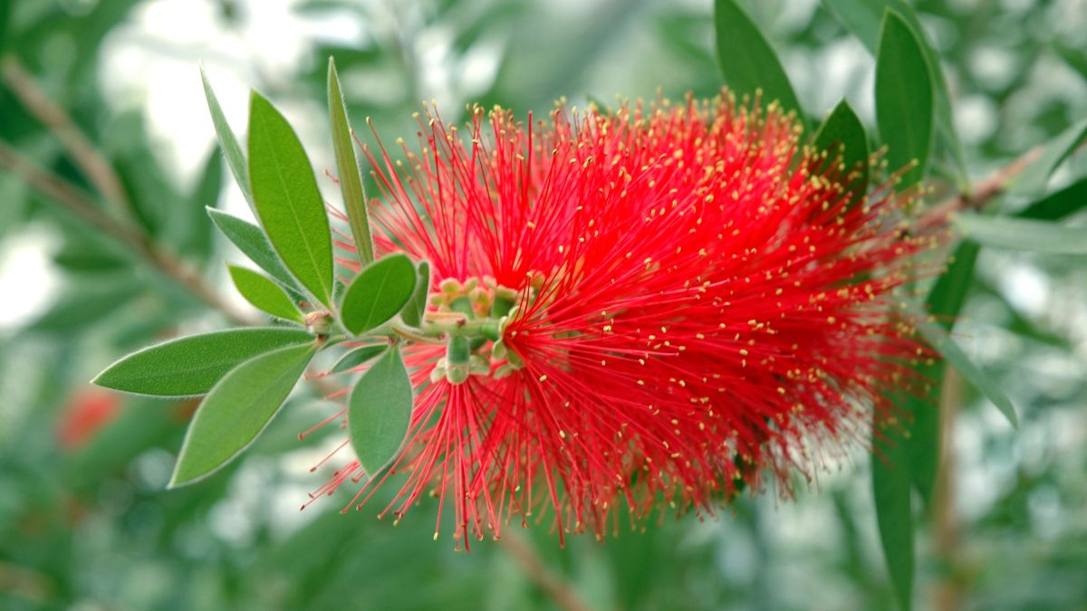 How to grow bottlebrush: give your garden an exotic touch with these low-maintenance plants