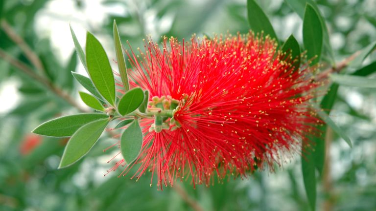 how to grow bottlebrush