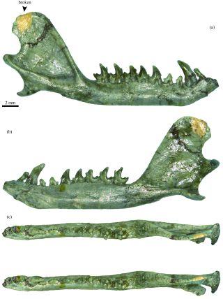 A Eutherian mammal jaw bone