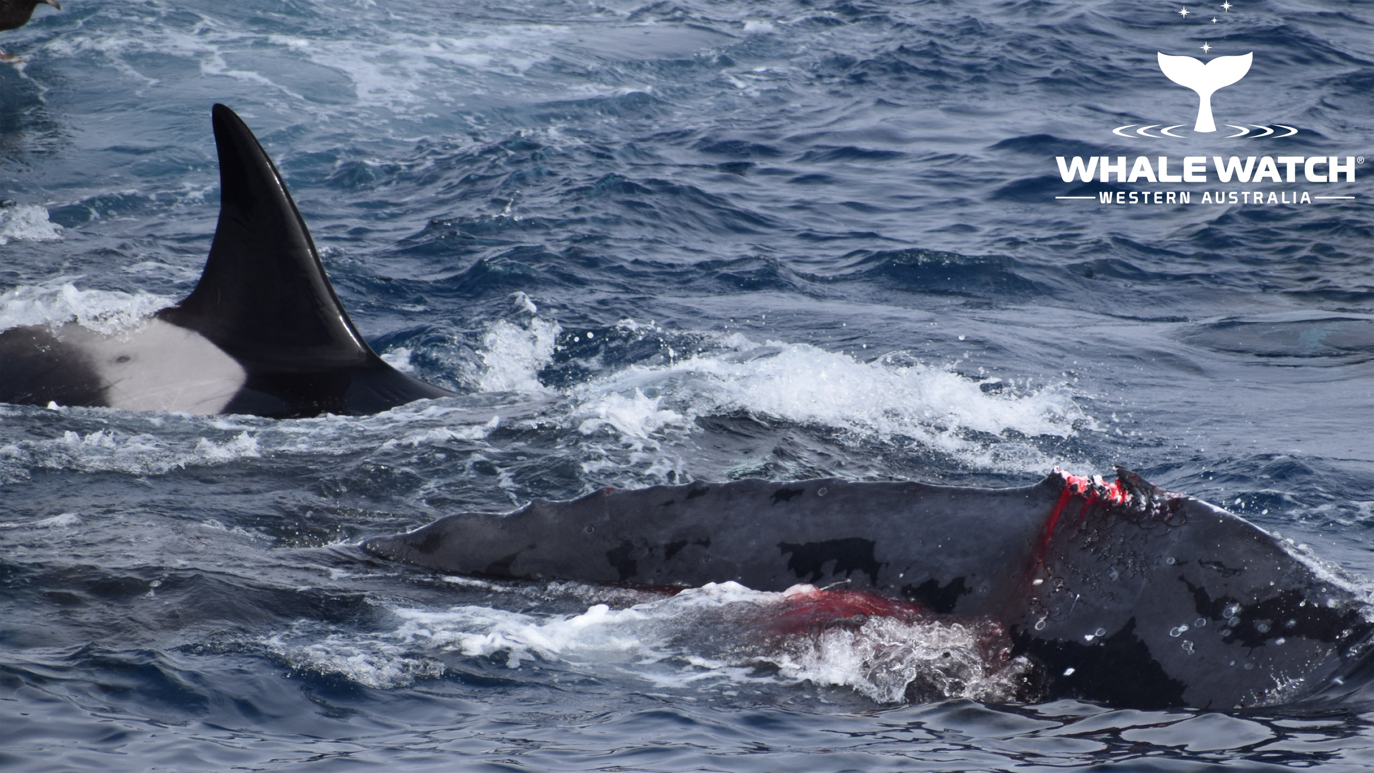 A humpback whale survived a 4-hour attack by pods of orca.