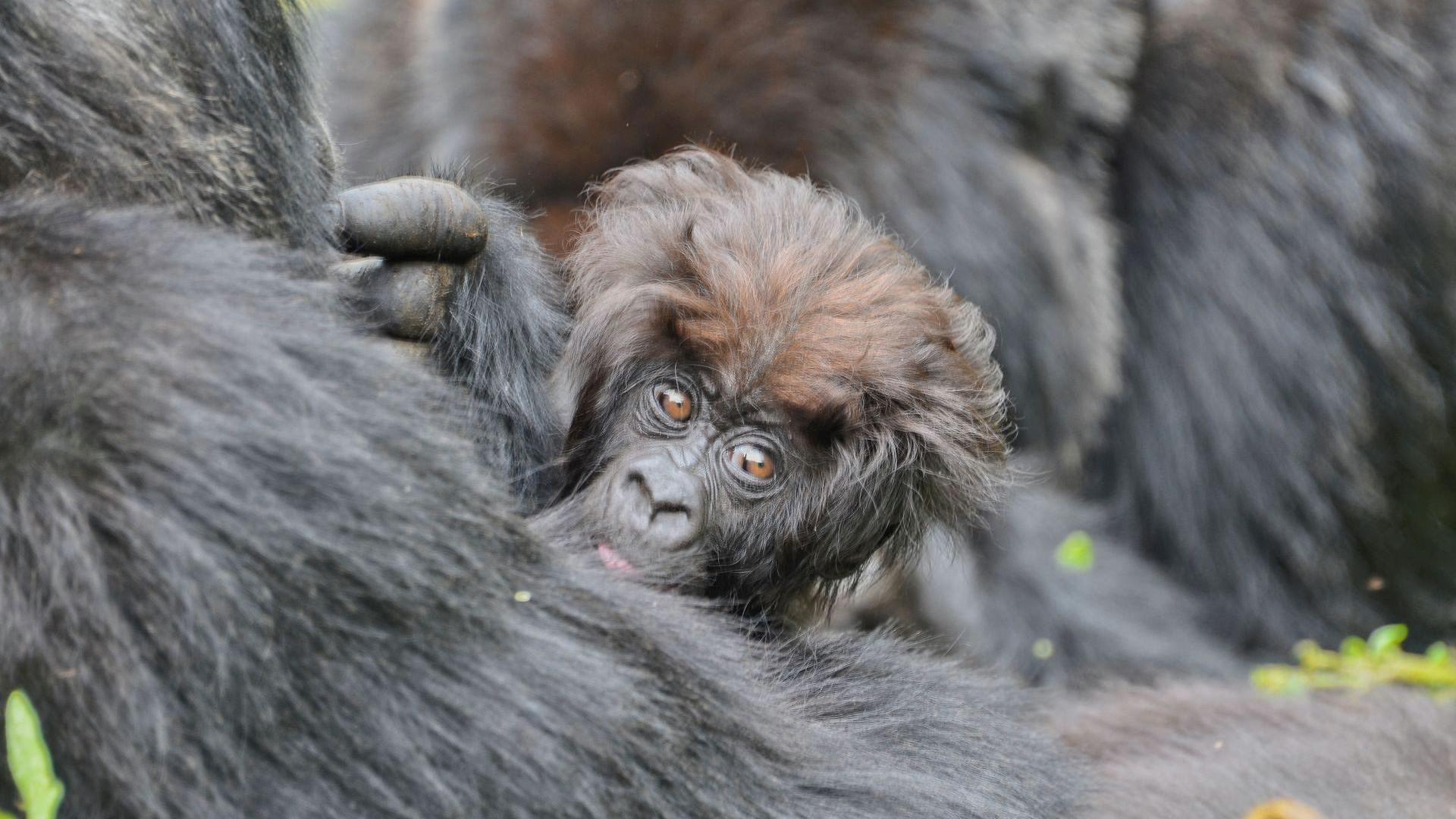 GameStop Redditors are using their stock winnings to adopt gorillas