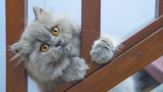 A gray persian cat clings to a bannister