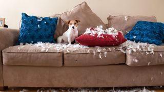 How to keep dogs off the couch: Jack Russell Terrier sitting on couch with stuffing of pillows strewn around him