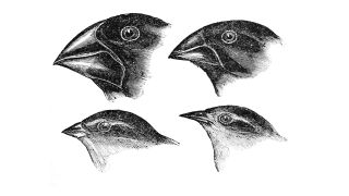 Sketches of Darwin's finches