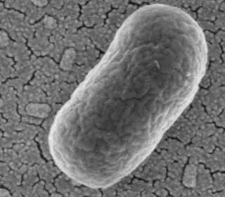 An image of E. coli bacteria.