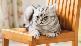 Grey cat sitting on a chair shooting a disdainful look at the camera