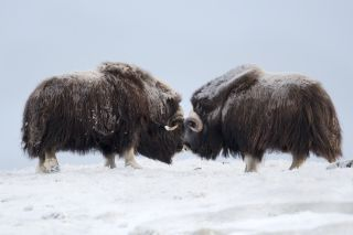 Musk Ox pair fighting, Norway, Dovrefjell National Park.