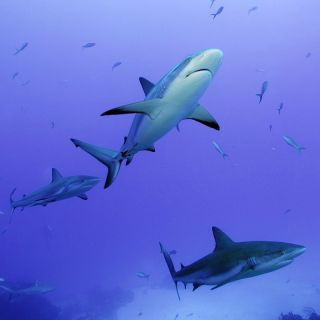 reef shark photograph, shark images, reef shark researchers, swimming with sharks, diving photographs, diving with sharks, animal news