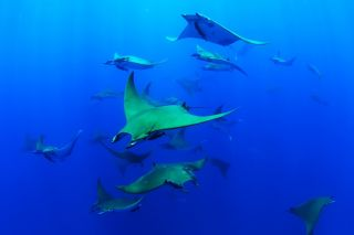 A group of Chilean devil rays swim together at the top of a seamount off the coast of the island of Santa Maria. Researchers have observed deep diving behavior in the species for the first time.