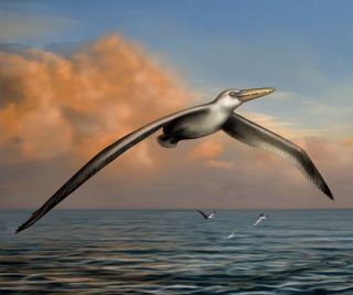 Here, an illustration of what may be the largest flying bird, an extinct beast with a wingspan of 20 to 24 feet (6.1 to 7.3 meters) that flew the skies some 25 million to 28 million years ago.