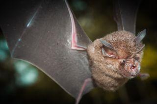 The SARS-CoV-2 virus and its relatives emerged from horseshoe bats (Rhinolophus affinis)