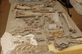 A photo showing a sample of the dinosaur bones being returned to Mongolia.