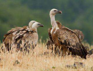 griffon-vultures