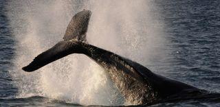 Whale splashing, whale poop