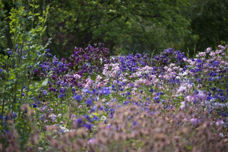 Mix of Aquilegia in an English garden