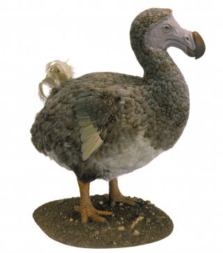 A model of a dodo (Raphus cucullatus), a flightless bird found only on the island of Mauritius until it went extinct in the 1600s. Hunting, habitat loss and the human introduction of egg-eating rats spelled the dodo's doom.
