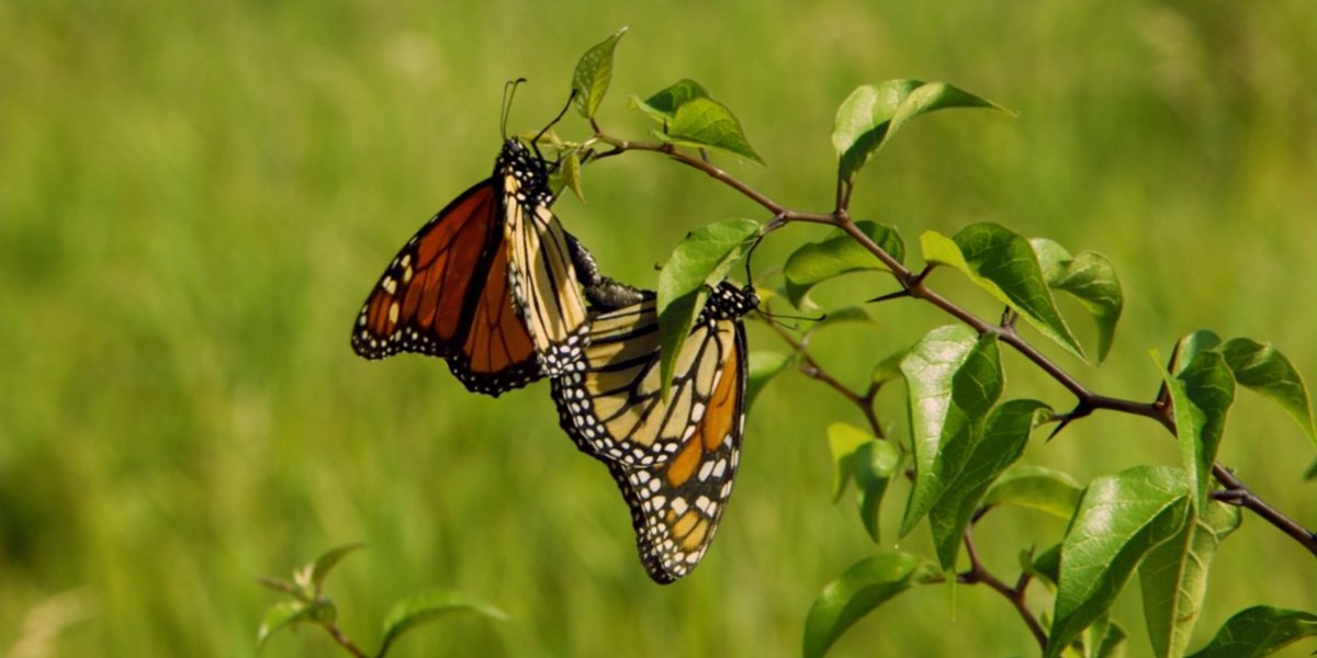 Two butterflies in Wings Of Life