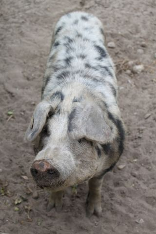 modern-day Bentheimer pig with black spots