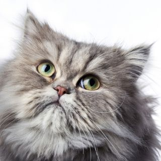 A Persian cat looks up.