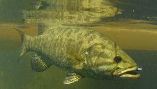 A smallmouth bass