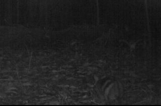 Sumatra striped rabbit images, rare rabbits, what is the rarest rabbit, animals, endangered species photos, camera trap photos
