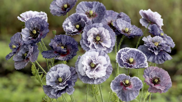 buy seeds online such as the Amazing Grey poppy from Suttons
