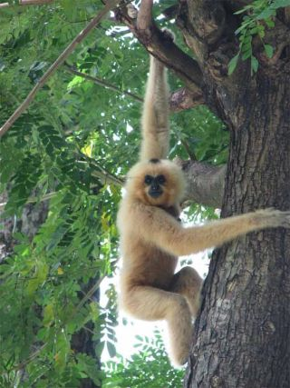 One of 2,500 yellow-cheeked crested gibbon counted in the recent WCS survey.