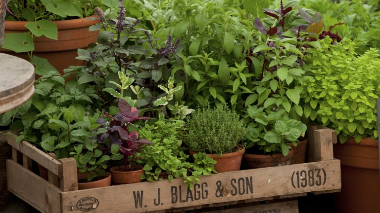 herbs from online garden centres growing in pots