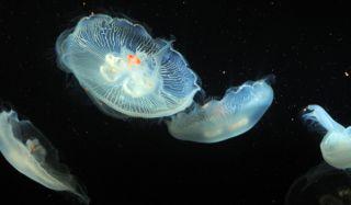 bio-jellyfish-100616-02