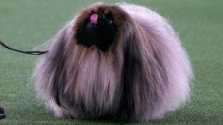 Westminster Dog Show: Wasabi the Pekingese