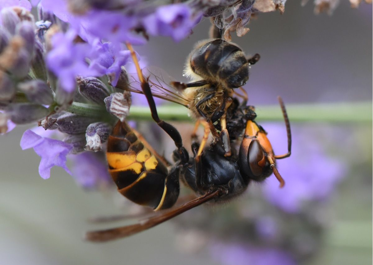 Why A Wasp Just Cut A Bee In Half And Left With Its Rear End Live Science