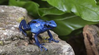 In poison dart frogs, bright blue colors broadcast a warning to predators that the animal is toxic.