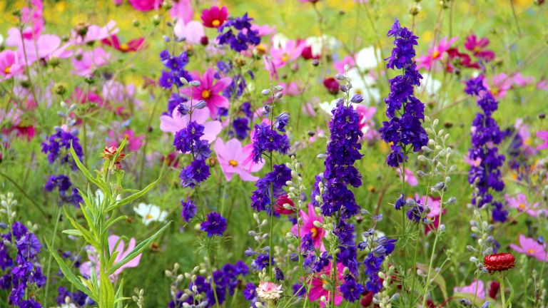 salvia and cosmos among other flowers