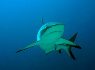 Grey reef shark near Fiji