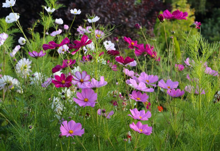 pink and white cosmos flowers in an English country garden