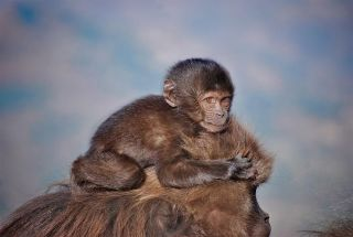 A 4-month-old infant gelada riding on her mother's head.