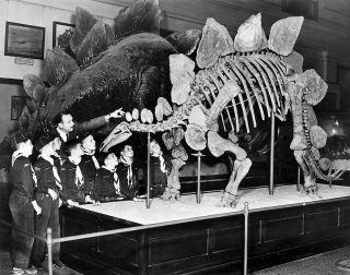 Stegosaurus in museum