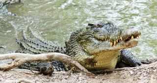 Largest recorded living crocodile