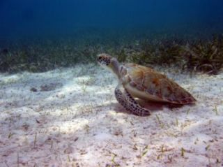 green turtles, do marine protected areas work, where turtles like to go, turtle news, endangered species news, animal news, earth