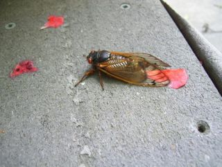 cicada-110503