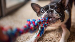 how to wash dog toys: dog plays with toy