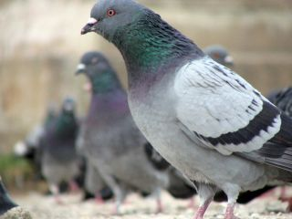 Pigeons Beat Humans At Solving Monty Hall Problem Live