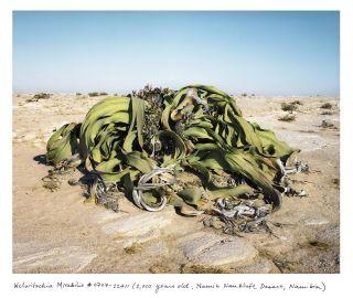 2,000 year old Welwitschia Mirabilis