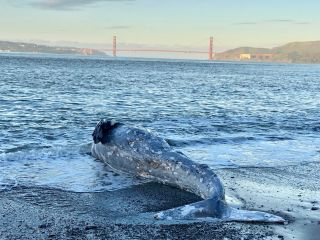 Dead gray whale in Northern California