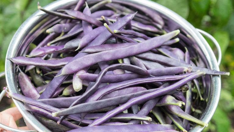 How to grow French beans in style: bean variety 'Cosse Violette' at harvest