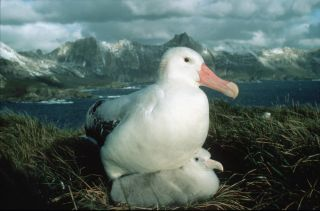 A wandering albatross with her chick on the sub-Antarctic island of South Georgia.