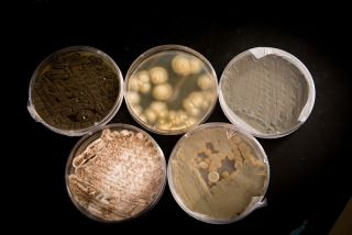 Five types of fungus, shown above growing in lab dishes, were found in Capri Sun drinks.